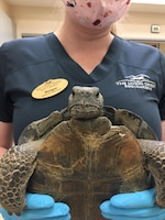 A veterinary technician shows off Kali during her rehabilitative stay at The Living Desert Zoo and Gardens in Palm Desert. Kali was taken there for several months to complete her rehabilitation from injuries she sustained from a collision with a car suffered late last year. (Photo courtesy of The Living Desert Zoo and Gardens)
