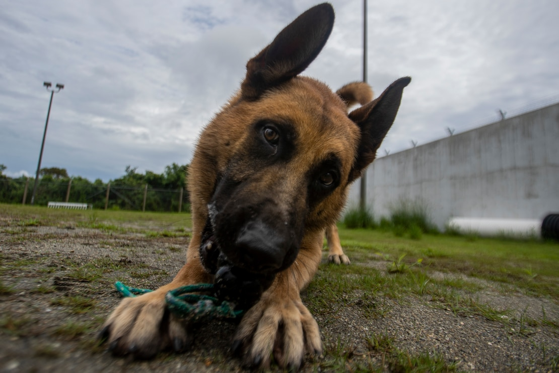 Max, a military working dog (MWD) with Marine Corps Base Camp Smedley D. Butler Provost Marshal Office, plays with his toy on Camp Hansen, Okinawa, Japan, June 23, 2021. MWDs are trained to conduct vehicle searches, searches of open areas, buildings, vehicles and other locations for the detection of explosives or illegal drugs. (U.S. Marine Corps photo by Cpl. Brennan J. Beauton)