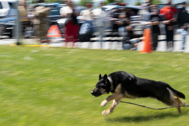 U.S. Air Force military working dog runs during demonstration.