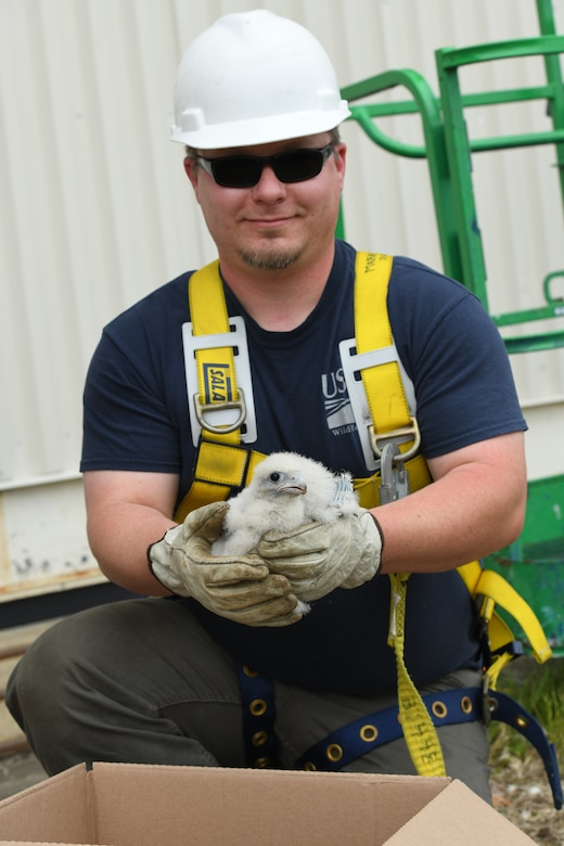 James Streeter, USDA wildlife biologist, holds a peregrine falcon chick rescued from the ISO-dock at Westover Air Reserve Base, M.A., June 3, 2021.