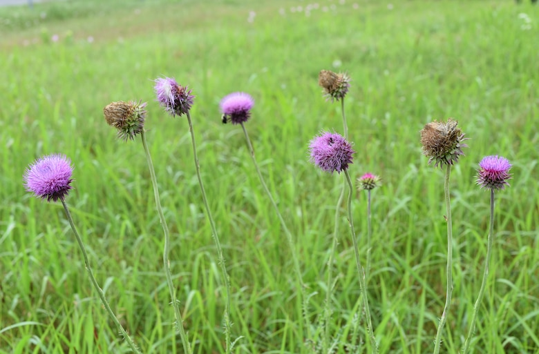 several stages of the Musk Thistle plant.
