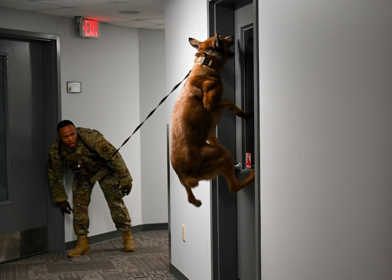 Lezer, a 28th Security Forces Squadron military working dog, and his handler, Staff Sgt. Ronald Dyer, demonstrate the skills and teamwork required to locate a suspect during a demonstration for area youth at Ellsworth Air Force Base, S.D., June 25, 2021.