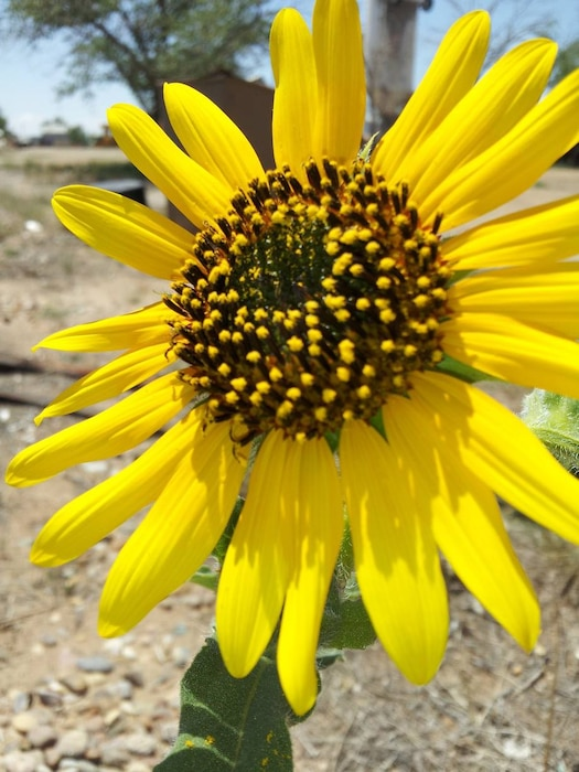 A closeup view of a wild sunflower in the South Side Juniper Day Use area, Conchas Lake, Aug. 23, 2020. Photo by Nadine Carter.