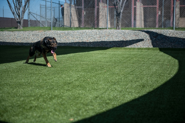 Bady 2, 9th Security Forces Squadron military working dog runs across a training area on Beale Air Force Base.