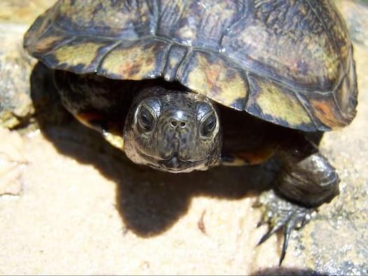 Painted turtle – taken by Kate Hasapes (2006) Fort Benning, GA