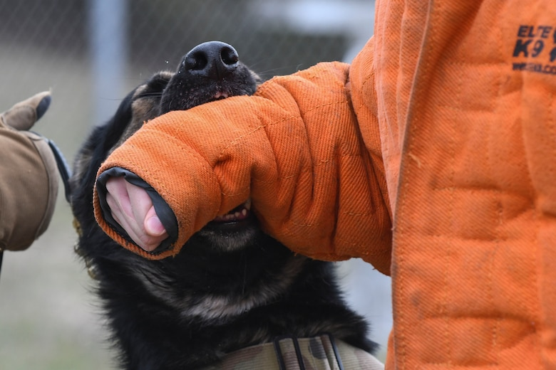 A German Shepard military working dog bites the arm of a bite suit during a bite demonstration.