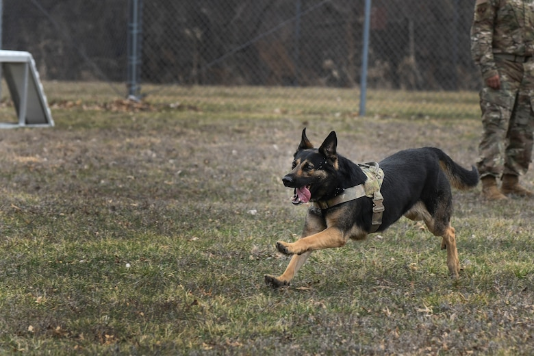 A German Shepard military working dog runs during a demonstration.