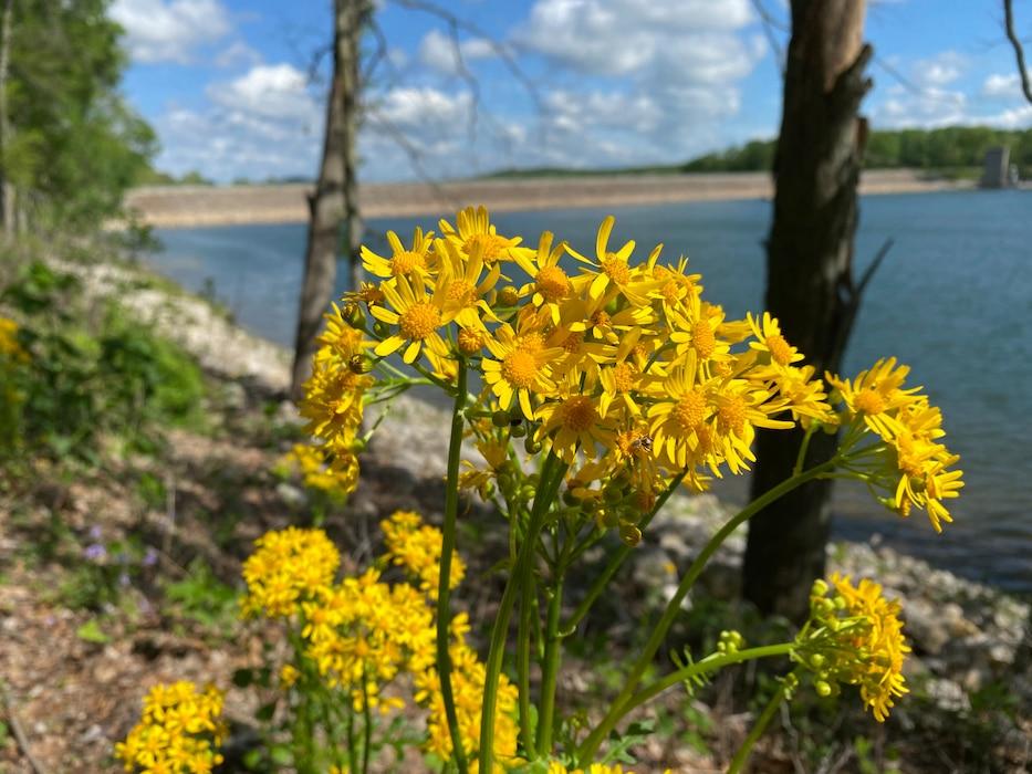 Ragwort wildflower at Patoka Lake