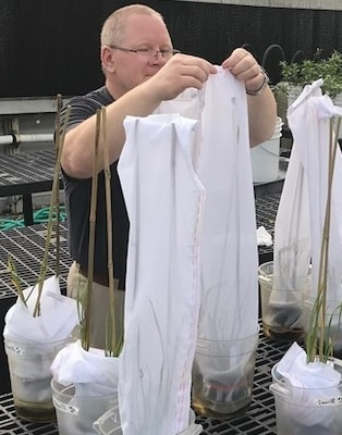 As part of an U.S. Army Engineer Research and Development Center (ERDC)-University project, U.S. Army Corps of Engineers Walla Walla District Biologist Damian Walter is netting flowering rush plants for a feeding study at the ERDC Environmental Laboratory's greenhouse on the Vicksburg, Mississippi, installation. (U.S. Army Corps of Engineers photo by Dr. Nathan Harms)