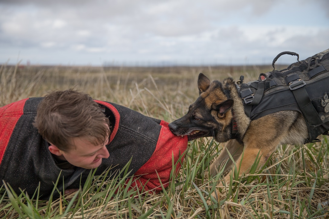 A U.S. Marine and a military working dog conduct a bite demonstration in Cold Bay, Alaska, May 8.