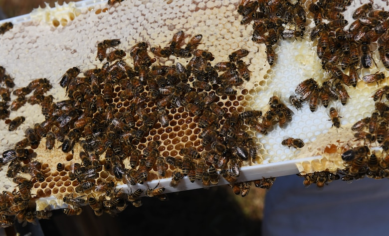 Bees sit on a frame.