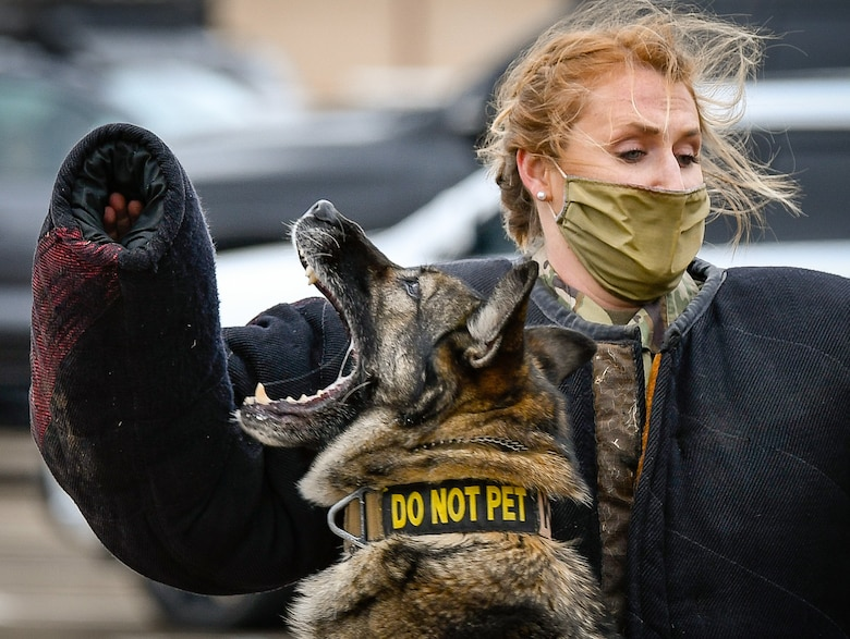 A German Shepard Military Working Dog lunges to bite the arm of an Airman in a protective suit as she looks on.