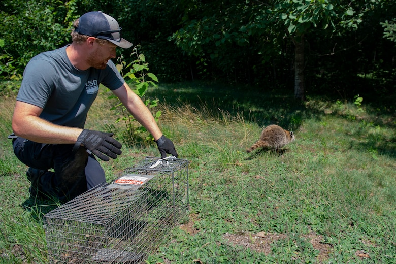 Brendan Popp, Biological Science Technician with the United States Department of Agriculture's Animal and Plant Health Inspection Service's Wildlife Services, releases a raccoon back into wild during a portion of the National Rabies Management Program (NRMP) at the Vermont Air National Guard base.