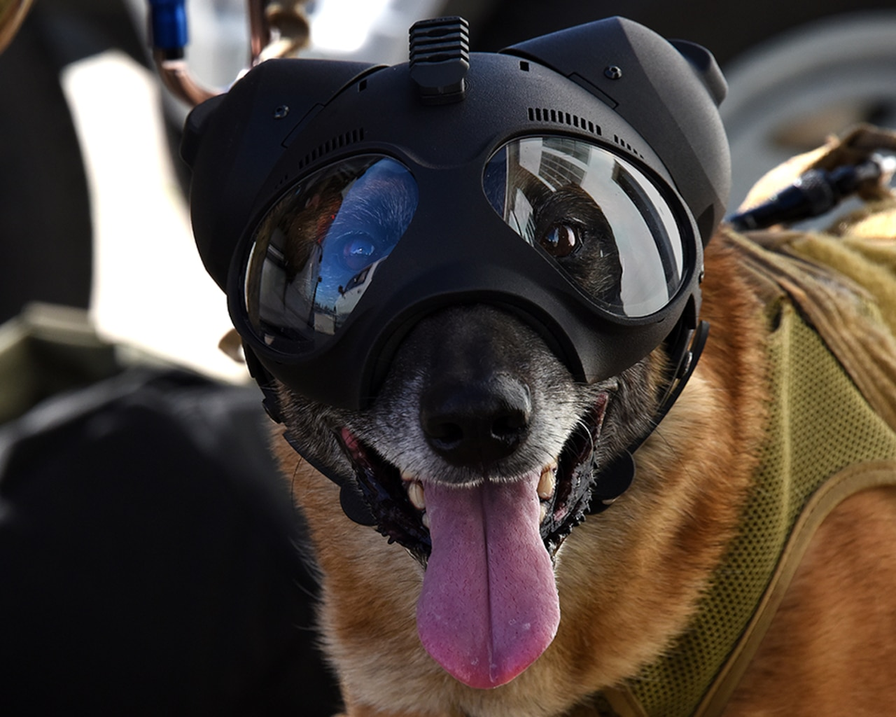 They may not have actual boots on the ground, but you'll find U.S. military working dogs serving wherever American troops do. They are as loveable as they are loyal, but make no mistake – these are highly skilled warriors, trained by the best to serve alongside them.
