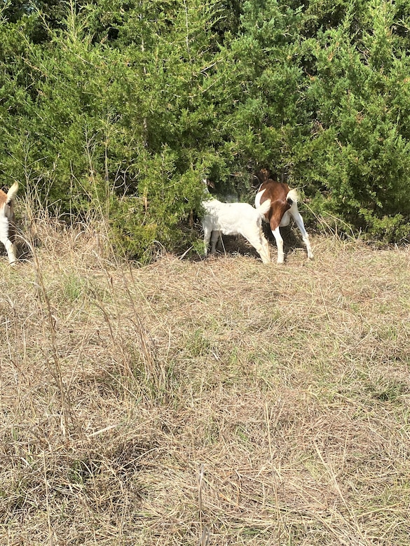 Goats grazing cedar trees for targeted grazing studies on eastern red cedar trees at the U.S. Army Corps of Engineers Omaha District's Fort Randall Project near Pickstown, South Dakota,  June 18.