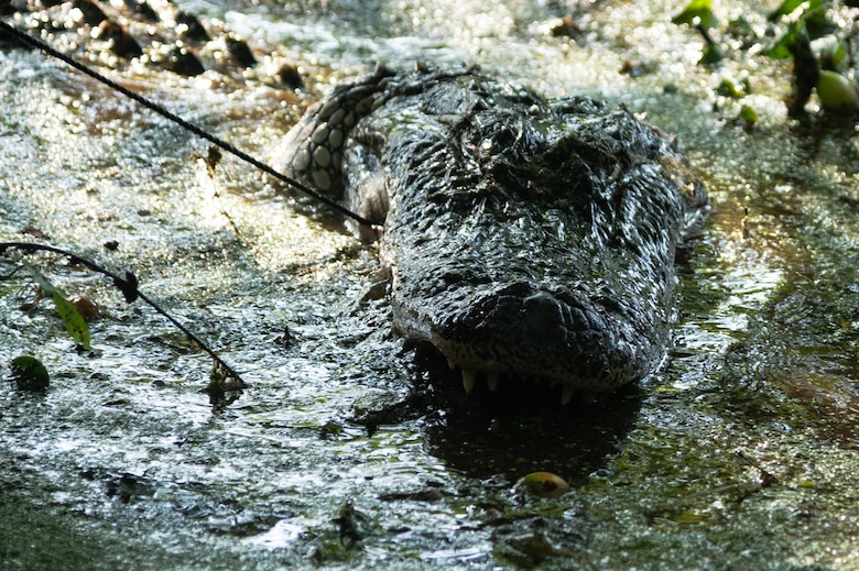 Alligators are common in the marshes of Barksdale's eastern reservation and biannual controlled hunts ensure that their population does not get out of control.