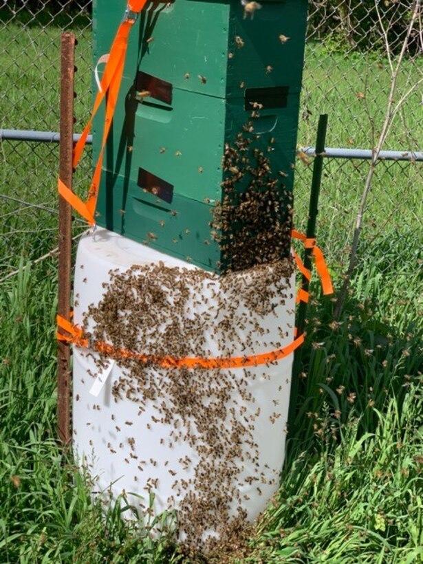 Honeybee swarm moves into a trap