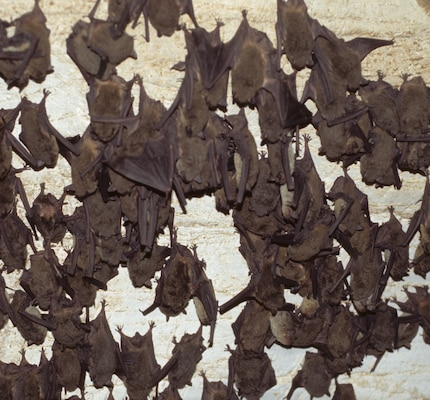 Bats can be vectors for diseases, such as rabies, and can therefore be classified as a naturally occurring threat to the Soldier entering a subterranean environment in an overseas military operation. Team members from the U.S. Army Engineer Research and Development Center are currently investigating how to develop sensors that would eventually be fitted to unmanned vehicles to detect these naturally occurring threats, which can be subdivided into the macroscopic type, such as bats, arachnids and reptiles, and the microscopic threat agents — or the diseases that the macroscopic species may carry that could spread to people.